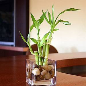 What exactly does Lucky Bamboo Mean?