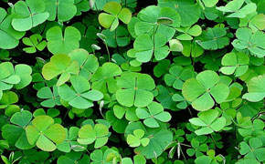 How to Find a Four Leaf Clover?