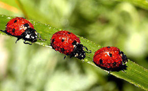Ladybug Superstitions and Good Luck